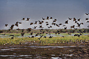 Magpies Photos - Arriving at the Billabong by Douglas Barnard