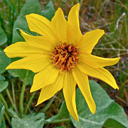 National Recreation Areas Prints - Arrowleaf Balsamroot in Red Canyon Rim in Flaming Gorge NRA-UT Print by Ruth Hager