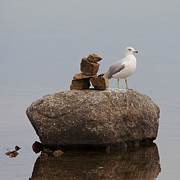 Larus Delawarensis Photos - Art in Nature.. by Nina Stavlund
