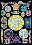 Art Of Diatom Algae (from Ernst Haeckel) Print by Mehau Kulyk