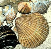 Sea Life Digital Art Posters - Art Shell 2 Poster by Stephanie Troxell