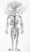 Circulatory System Posters - Arterial System, 18th Century Poster by