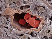 Arteriole Framed Prints - Arteriole And Red Blood Cells, Sem Framed Print by Steve Gschmeissner