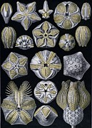 Artforms Of Nature Print by Ernst Haeckel