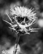 Artichoke Prints - Artichoke Thistle BW Print by Kelley King