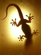 Animal Behavior Metal Prints - Artistic Backlight Shot Of A Gecko, Nicely Shaped. Metal Print by Sir Francis Canker Photography