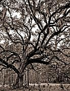 Duotone Photos - Artistic Old Oak by Phill  Doherty