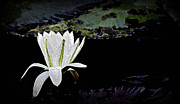 Japanese Village Prints - Artistic Water Lily Print by John Wright