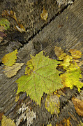 Fallen Leaves Posters - Artsy Autumn Leaves on Wood Poster by M K  Miller