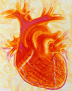 Cava Framed Prints - Artwork Of A Healthy Human Heart Framed Print by David Gifford