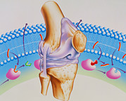 Arthritis Prints - Artwork Of Arthritic Knee And Nsaid Drug Mechanism Print by John Bavosi