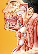 Calculus Posters - Artwork Of Mouth/neck: Tumour, Cyst, Duct Calculus Poster by John Bavosi