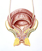 Bladder Posters - Artwork Of Section Through The Female Bladder Poster by John Bavosi