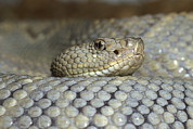 Critically Endangered Species Posters - Aruba Rattlesnake Crotalus Unicolor Poster by Gerry Ellis