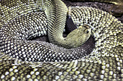 Rattlesnakes Prints - Aruban Print by JC Findley