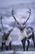 Mammals Prints - As The Weather Becomes Cooler Print by Paul Nicklen