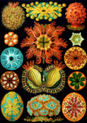 Husband Drawings Posters - Ascidiacea Sea Squirts Poster by Ernst Haeckel