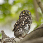 Owlet Prints - Asian Barred Owlet Print by Boti