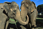 Animalsandearth Photos - Asian Elephant Elephas Maximus Pair by Zssd