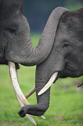 Asian Elephant Greeting Print by Cyril Ruoso