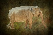 Tusk Prints - Asian Elephant Print by Rudy Umans