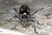 Beetle Photos - Asian Long-horned Beetle by Ted Kinsman