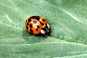 Beetle Photos - Asian Multicolored Lady Beetle by Science Source