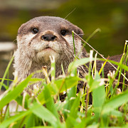 Steve Liptrot - Asian short-clawed otter