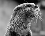 Steve Liptrot - Asian small-clawed otter