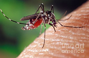 Asian Tiger Prints - Asian Tiger Mosquito Print by Science Source