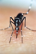 Asian Tiger Prints - Asian Tiger Mosquito Print by Sinclair Stammers
