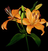 Asiatic Posters - Asiatic Lily Poster by Carolyn Marshall