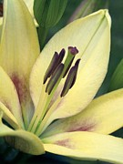 Hybrid Lily Framed Prints - Asiatic Lily (lilium Sp.) Framed Print by Power And Syred