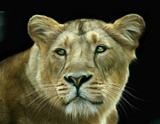Big Cat Digital Art Acrylic Prints - Asiatic Lioness Acrylic Print by Julie L Hoddinott