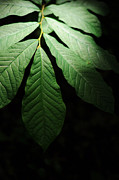 Realistic Photo Prints - Asimina Triloba Foliage Print by Rebecca Sherman