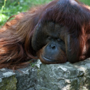 Orang-utan Framed Prints - Asleep Framed Print by Heiko Koehrer-Wagner