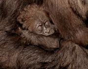 Ape Photo Originals - Asleep by Vic Sharratt