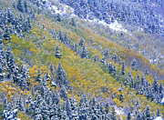 Pinaceae Prints - Aspen And Spruce Trees Dusted With Snow Print by Tim Fitzharris