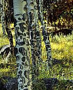 Aspen Prints - Aspen Bark Print by Pete Hellmann
