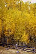 Fall Colors Art - Aspen Fall 2 by Marty Koch