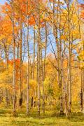 Lightning Images Framed Prints - Aspen Fall Foliage Vertical Image Framed Print by James Bo Insogna