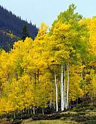 Marty Koch Prints - Aspen Fall Print by Marty Koch
