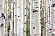 Conservation Art Framed Prints - Aspen Forest - fine art Framed Print by Doug Keech