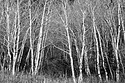 Aspen Trees Framed Prints - Aspen Forest Black and White Print Framed Print by James Bo Insogna