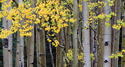 Gore Framed Prints - Aspen Gold Framed Print by Adam Pender