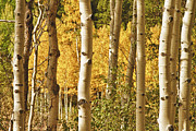 Autumn Poster Framed Prints - Aspen Gold Framed Print by James Bo Insogna