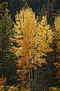 Fall Leaves Posters - Aspen Gold Poster by Kelley King