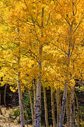 Autumn Prints Prints - Aspen Gold Portrait Print by James Bo Insogna