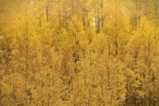 San Jaun Framed Prints - Aspen Gold Framed Print by William Howard