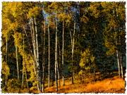 Autumn Scene Framed Prints - Aspen Grove near Princeton Framed Print by Marion McCristall